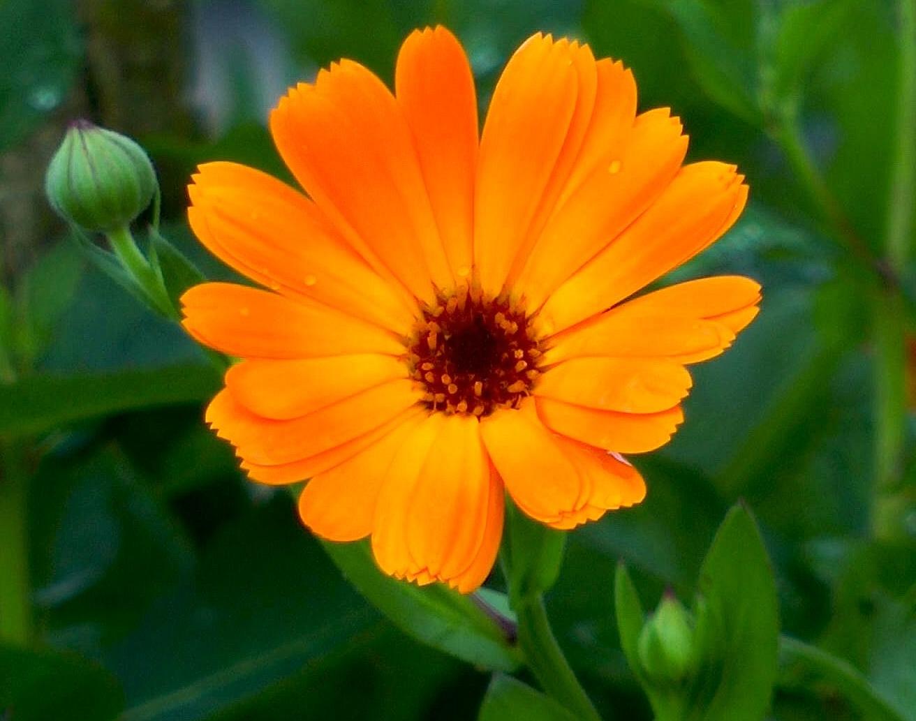 ringelblume-calendula-bluete-orange